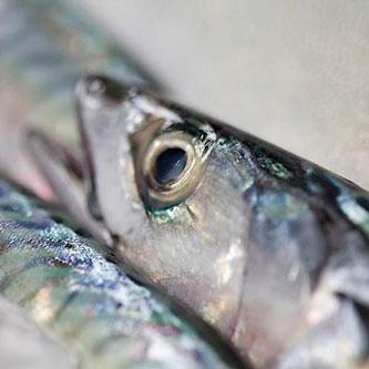 Capurro Ricevimenti Sgombro Pesce sostenibile